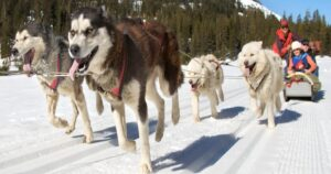 Lead Dog on Sled